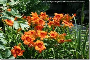 Drift of Furnace of Babylon daylilies at Montreal Botanical Garden. Photo credit: Jean Potuchek