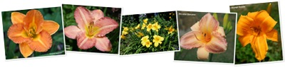 View Favorite Daylilies