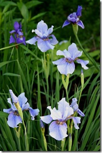 Siberian irises 'Super Ego' and 'Tiffany Lass.'  Photo credit: Jean Potuchek