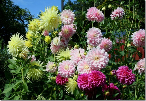 Display of dahlias on a hillside. Photo credit: Jean Potuchek