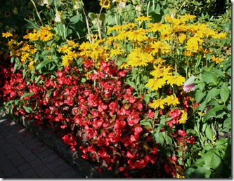 Yellow rudbeckia with red begonia (photo credit: Jean Potuchek)