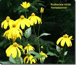 Rudbeckia n. 'Herbstsonne' Photo credit: Jean Potuchek