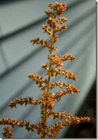Astilbe seed head (photo credit: Jean Potuchek)