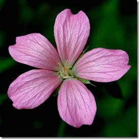 Silvery bloom of Geranium x oxonianum 'A.T. Johnson' (photo credit: Jean Potuchek)
