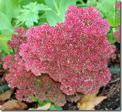 Sedum 'Autumn Joy' (photo credit: Jean Potuchek)