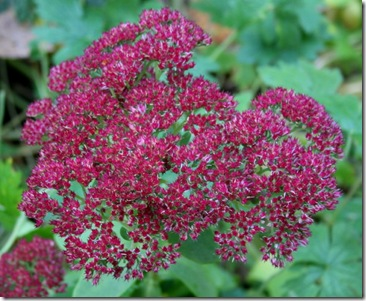 Autumn Joy sedum (photo credit: Jean Potuchek)