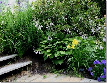 Rhododendron and hosta anchoring the back slope planting (photo credit: Jean Potuchek)