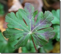 Fall foliage of Geranium x cantabrigiense 'Biokovo' (photo credit: Jean Potuchek)