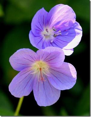 Geranium x 'Brookside' (photo credit: Jean Potuchek)