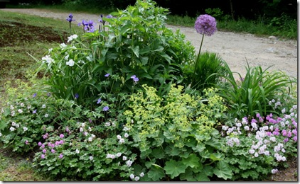 Interplanted varieties of G. x cantabrigiense and Alchemilla mollis (photo credit: Jean Potuchek)