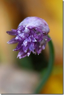 Fall blossom on chives (photo credit: Jean Potuchek)