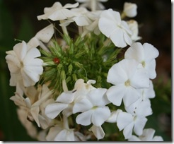 Phlox paniculata 'David' (photo credit: Jean Potuchek)