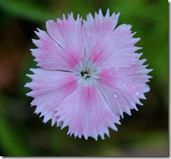 Dianthus (photo credit: Jean Potuchek)