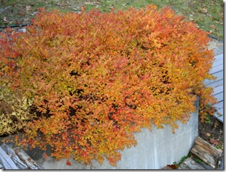 Fall foliage on Spirea japonica 'Magic Carpet' (photo credit: Jean Potuchek)