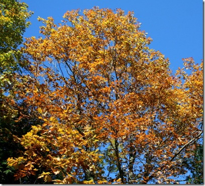 Gold foliage and blue sky (photo credit: Jean Potuchek)
