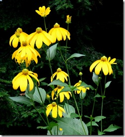 Rudbeckia 'Herbstsonne' from Joyce (photo credit: Jean Potuchek)