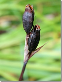 Siberian iris seed pods (photo credit: Jean Potuchek)