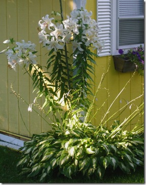 Oriental Lily 'Casablanca' (photo credit: Bob Maigret)