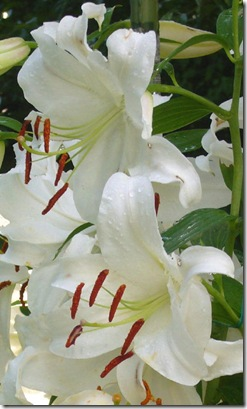 'Casablanca' lily blossoms (photo credit: Bob Maigret)
