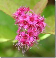 Spirea japonica 'Magic Carpet' (photo credit: Jean Potuchek)