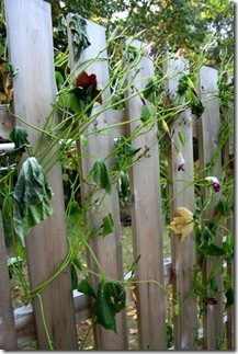 Morning Glory vines after frost (photo credit: Jean Potuchek)