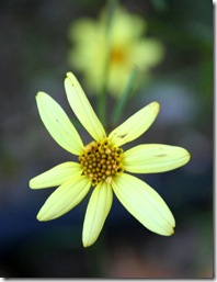 Coreopsis verticillata 'Moonbeam' (photo credit: Jean Potuchek)