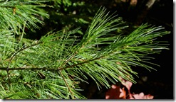 White pine needles (photo credit: Jean Potuchek)