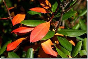Rhododendron foliage in fall (photo credit: Jean Potuchek)
