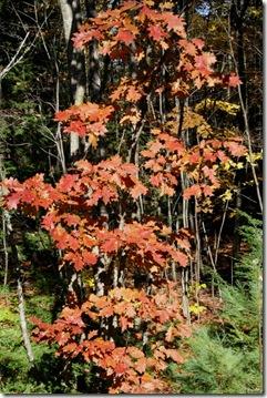 Oak tree in autumn (photo credit: Jean Potuchek)