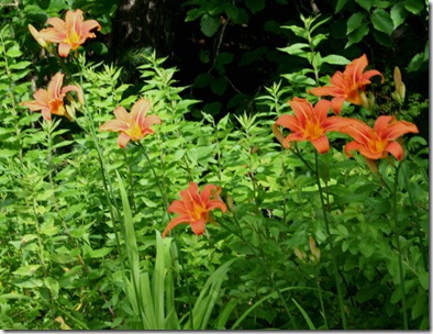 Tawny daylilies from Jan (photo credit: Jean Potuchek)