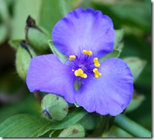 Tradescantia 'Zwanenburg Blue' (photo credit: Jean Potuchek)