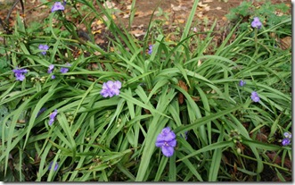 Volunteer tradescantia thriving in the garden (photo credit: Jean Potuchek)