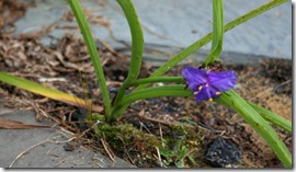 Volunteer tradescantia (photo credit: Jean Potuchek)