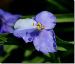 Tradescantia bloom (photo credit: Jean Potuchek