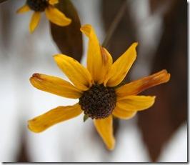 Unlikely December bloom of Rudbeckia 'Herbstsonne' (photo credit: Jean Potuchek)