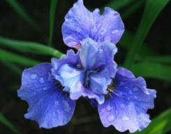 Siberian iris (photo credit: Jean Potuchek)