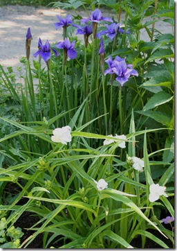 Siberian iris and tradescantia 'Danielle' (photo credit: Jean Potuchek)
