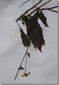 Hanging stem of Rudbeckia 'Herbstsonne' (photo credit: Jean Potuchek)