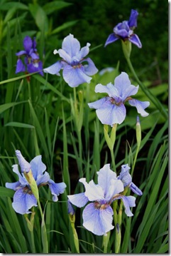 Grouping of three different varieties of Iris sibirica (photo credit: Jean Potuchek)