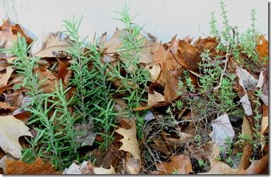 Rosemary and Thyme (photo credit: Jean Potuchek)