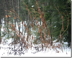 Spent foliage of Rudbeckia 'Herbstsonne' in snow (photo credit: Jean Potuchek)