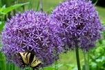 Allium giganteum 'Globemaster'