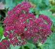 Sedum 'Autumn Joy'