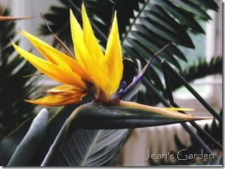 Bird of Paradise (photo credit: Jean Potuchek)