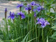 Iris sibirica (unknown variety)