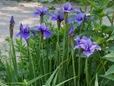 Iris sibirica (unknown variety)