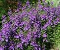 Angeliona, Butchart Gardens
