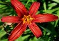Hemerocallis 'Crimson Prairie,' Montreal Botanical Gardens