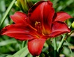 Hemerocallis 'Dewey Roquemore,' Montreal Botanical Gardens
