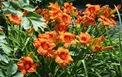 Hemerocallis 'Furnace of Babylon,' Montreal Botanical Gardens